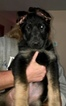 German Shepherd Dog Puppy For Sale in MUNCIE, IN,