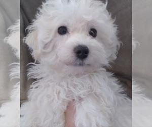 Maltipoo Puppy for sale in SAN ANTONIO, TX, USA