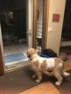 Saint Berdoodle Puppy For Sale in CHANHASSEN, MN, USA
