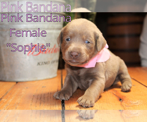 Labrador Retriever Puppy for Sale in MARSHFIELD, Missouri USA