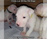 Small Photo #62 Dogo Argentino Puppy For Sale in PINEVILLE, MO, USA