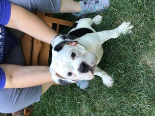 Olde English Bulldogge Puppy For Sale in LEES SUMMIT, MO, USA