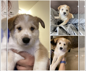Shiba Inu-Siberian Husky Mix Puppy for sale in ROCHESTER, NY, USA