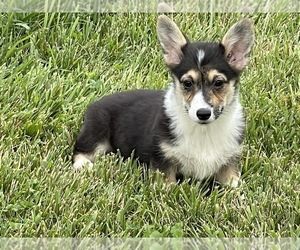 Pembroke Welsh Corgi Puppy for sale in SEYMOUR, MO, USA