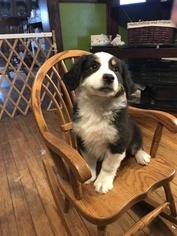 Miniature Australian Shepherd Puppy For Sale in RAVENWOOD, MO, USA