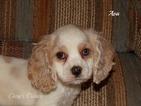 Cocker Spaniel Puppy For Sale in ELKLAND, MO, USA