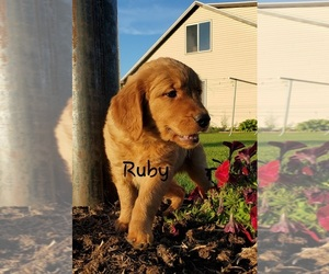 Golden Retriever Puppy for Sale in COLBY, Wisconsin USA