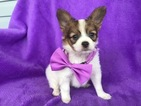 Papillon Puppy For Sale in QUARRYVILLE, PA, USA