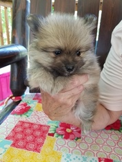 Pomeranian Puppy For Sale in GRANBURY, TX, USA