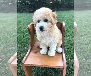 Poochon Puppy for Sale in NIANGUA, Missouri USA