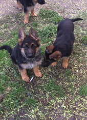 German Shepherd Dog Puppy For Sale in HOUSTON, TX, USA