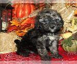 Puppy 0 Bernedoodle-Poodle (Miniature) Mix