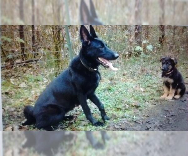 Medium Photo #1 German Shepherd Dog Puppy For Sale in GASTON, OR, USA