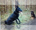 Small Photo #1 German Shepherd Dog Puppy For Sale in GASTON, OR, USA