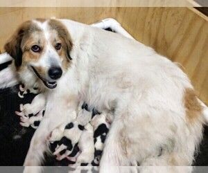 Mother of the Pyredoodle puppies born on 08/30/2020