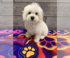 Bichon Frise Puppy for sale in RICHMOND, IL, USA
