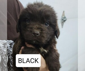 Newfoundland Puppy for Sale in BERESFORD, South Dakota USA