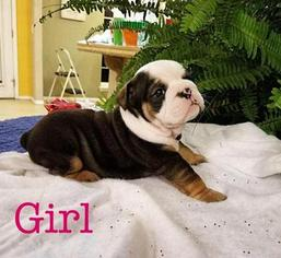 Bulldog Puppy For Sale in DUNCAN, OK, USA