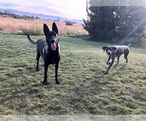 Belgian Malinois Puppy for Sale in MERIDIAN, Idaho USA