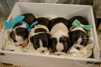 Boston Terrier Puppy For Sale in DUENWEG, MO, USA