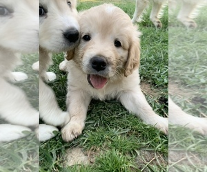Golden Retriever Puppy for sale in BEAUMONT, CA, USA