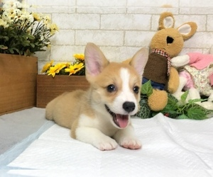 Pembroke Welsh Corgi Puppy for sale in SEATTLE, WA, USA