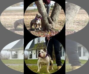 American Bully Puppy for sale in WEST YORK, PA, USA