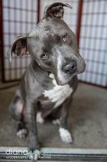 Bosco Boy - American Staffordshire Terrier Dog For Adoption