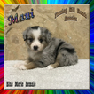 Maui Toy Small Mini Blue Merle Female Aussie
