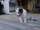 Australian Shepherd Puppy For Sale in HIGH POINT, NC,