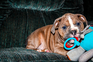 Olde English Bulldogge Puppy For Sale in APPLE CREEK, OH, USA
