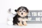 Yorkie-Poo-Yorkiepoo Mix Puppy For Sale in NAPLES, FL, USA