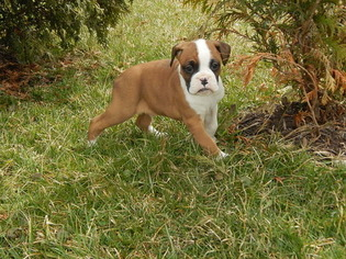 Boxer Puppy For Sale in DANVILLE, OH, USA