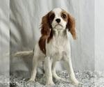 Puppy 12 Cavalier King Charles Spaniel