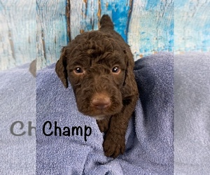 Labradoodle Puppy for Sale in SHELL KNOB, Missouri USA