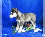 Small #9 Alaskan Klee Kai