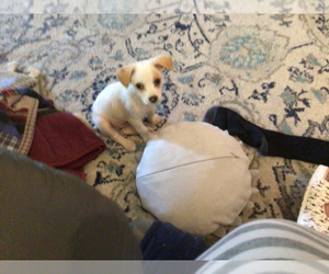 Wapoo Puppy for Sale in VALRICO, Florida USA