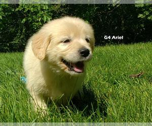 Golden Retriever Puppy for Sale in MILFORD, Michigan USA