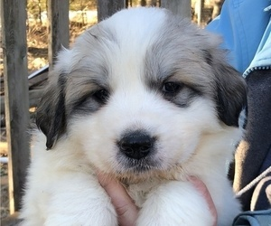 Great Pyrenees Puppy for Sale in SPOONER, Wisconsin USA