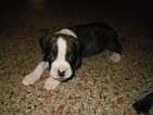 Boxer Puppy For Sale in SAINT PETERSBURG, FL, USA