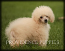 Darling Poodle puppy