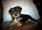 Yorkshire Terrier Puppy For Sale in GRAYSON, LA