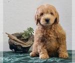 Puppy 7 Goldendoodle-Poodle (Miniature) Mix