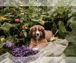 Puppy 7 Bernese Mountain Dog-Caucasian Shepherd Dog Mix