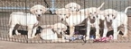 Labrador Retriever Puppy For Sale in BARNESVILLE, GA, USA