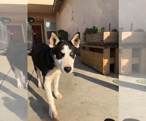 Bull Terrier-Sharberian Husky Mix Dog for Adoption in FARMERSVILLE, California USA