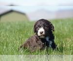 Puppy 5 Springerdoodle
