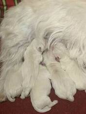 Medium West Highland White Terrier