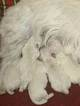 5 Beautiful West Highland White Terrier Pups