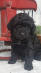 Cockapoo-Poodle (Standard) Mix Puppy For Sale in MILLERSBURG, OH, USA
